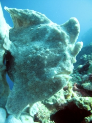 120502_moalboal3_frogfish