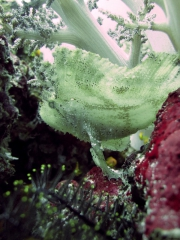 120604_pulauweh_leafy_scorpionfish