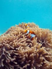 120605_pulauweh_anemonefish