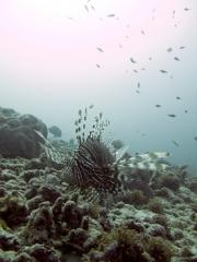 120614_pulauweh_lionfish